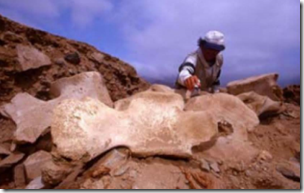 Fig 29 Whale vertebra seat unearthed at Caral