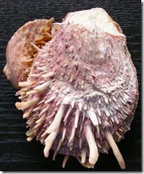 Fig 27 Spondylus shell